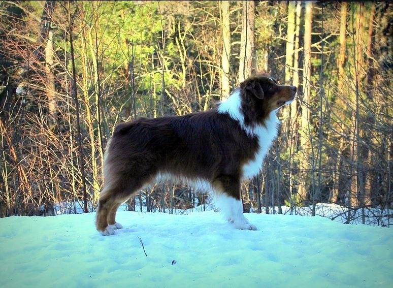 Australian Shepherd Villanyda Breaking Bad Id 19199